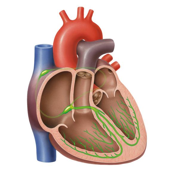Herzrhythmusstörungen: Wenn das Herz aus dem Takt kommt